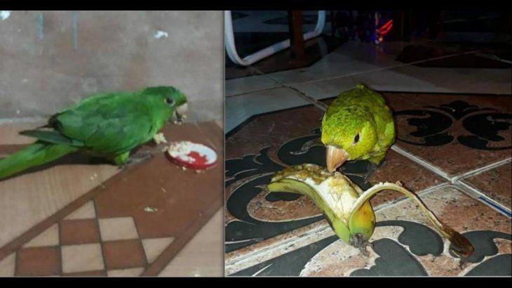 Lolo come prácticamente de todo y es muy amigable; desde el domingo nada se sabe sobre su paradero. Foto:Info-Capiibary San Pedro (Facebook).