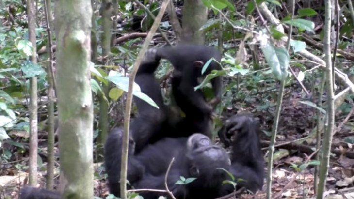 Chimpacé juega al avión con una cría