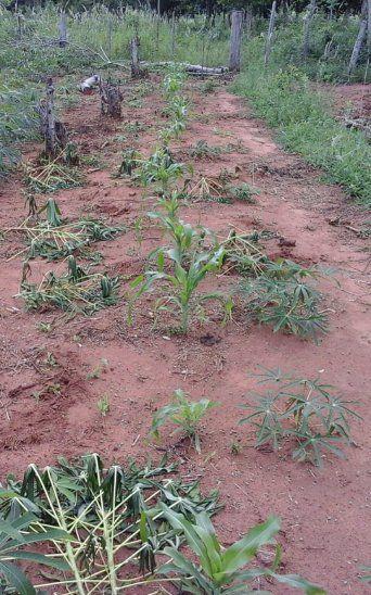 Así quedó la plantación de mandioca