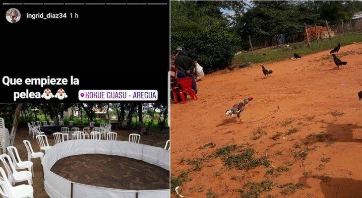 Denuncian riñas de gallos en Central