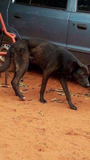 Enfermo. Gricelda alega que el perro ya estaba enfermo unos días después de que sus dueños viajaron. Salía a rebuscarse por la calle algo para comer. La misma dijo que intentó alimentar al animal