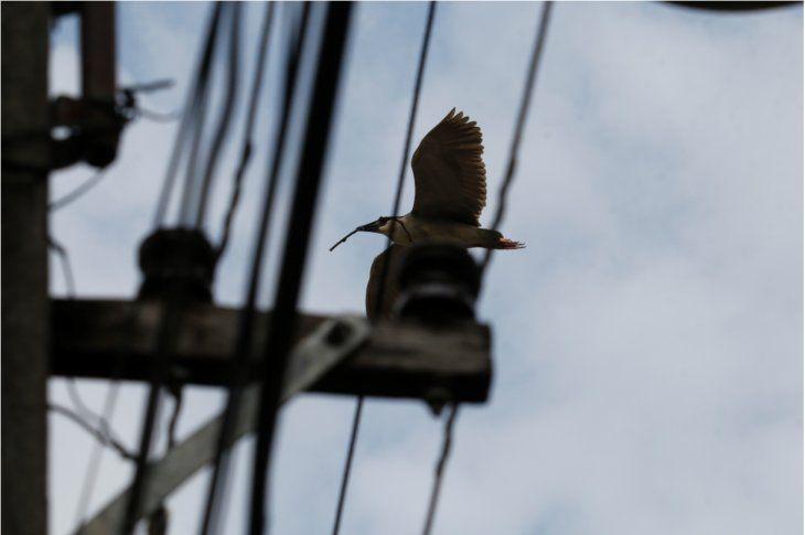 Invasión de garzas mantiene en zozobra a todo un barrio en Asunción
