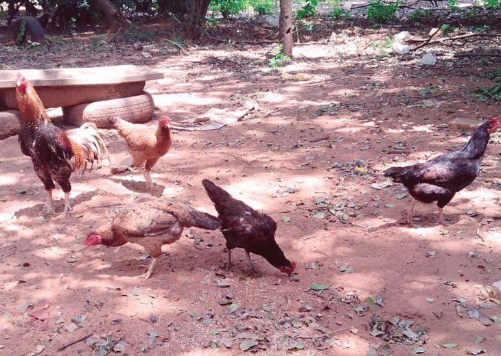 CACAREO EN EL CALABOZO. Las tres gallinas fueron a parar tras las rejas