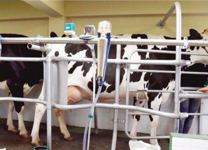 Vacas lecheras están en ¡cuarentena por el calor!