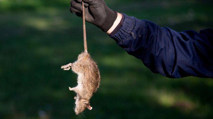 ¡Cuidado! No se recomienda intentar atrapar al ratón si está vivo. Si está muerto