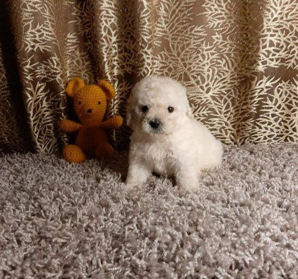 Expectativa: El perrito ofrecido como de raza caniche toy. La compradora denunció estafa.