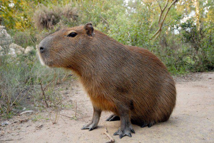La caza del carpincho y otros animales silvestres es ilegal en Paraguay